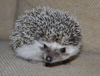 0bd4ef51735c Connecticut Hedgehogs-CT USDA licensed pet hedgehog breeders ...