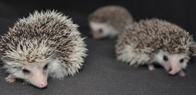 Connecticut Hedgehogs-USDA licensed breeder located in CT